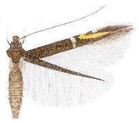 <i>Cosmopterix schouteni</i> species of insect