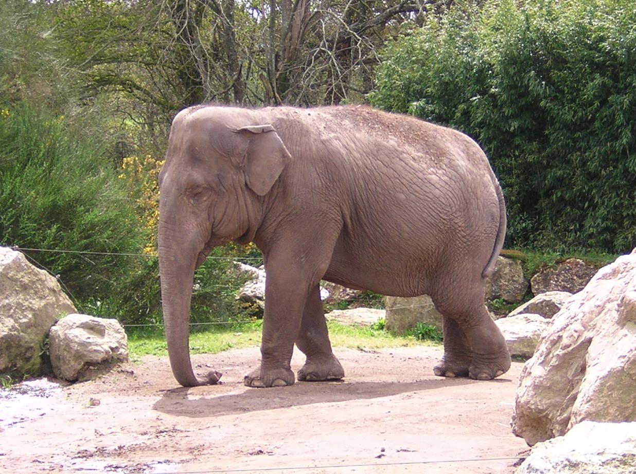 Elphants : lphants d'Afrique, lphant d'Asie Pratiquefr