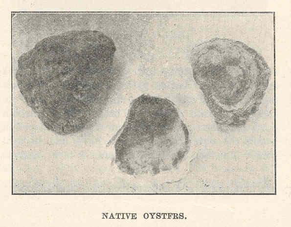File:FMIB 44209 Native Oysters.jpeg