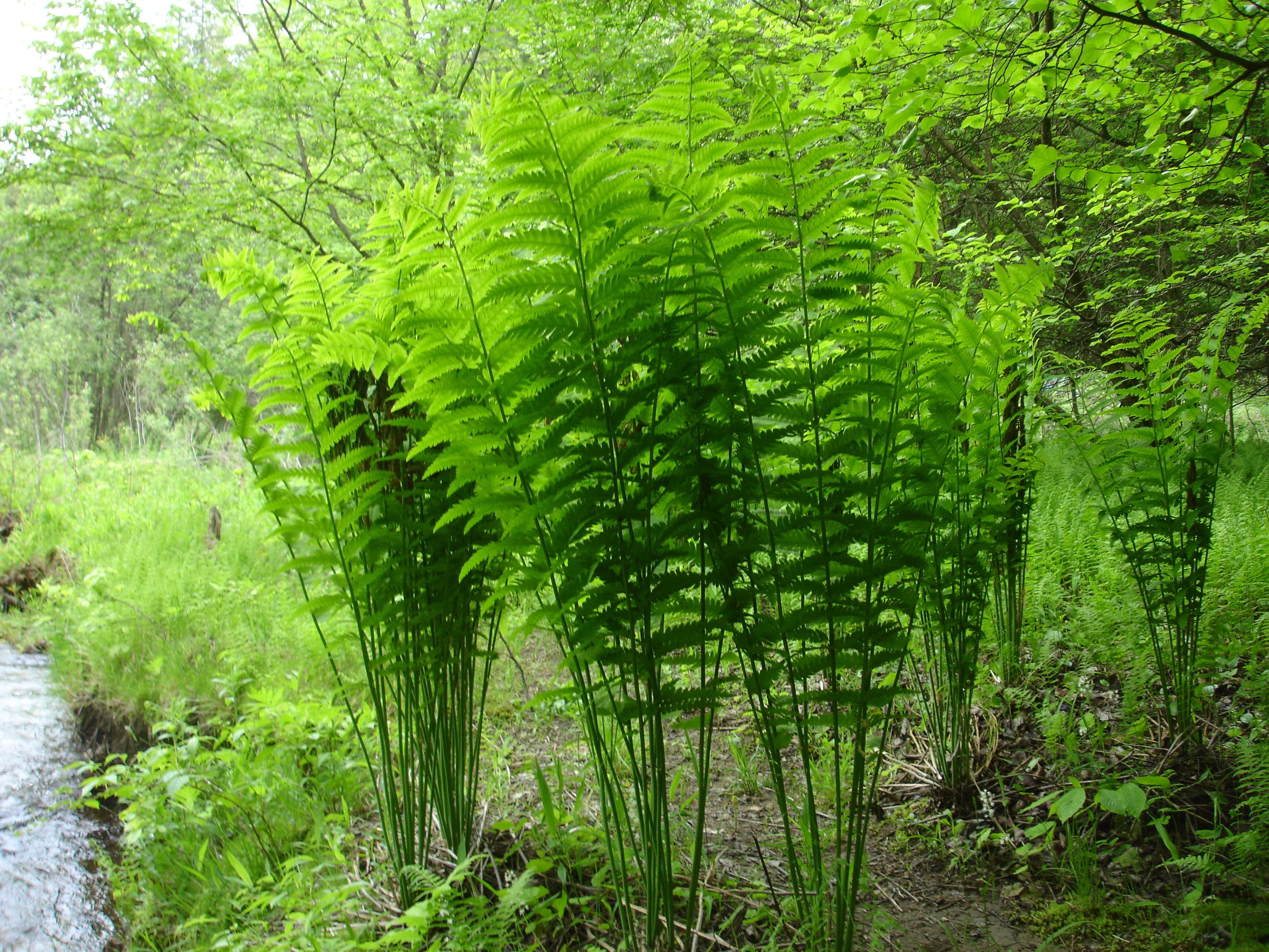 Images Of Plants File Farnsworth Branch Tionest 4foot Ferns Jpg Wikimedia