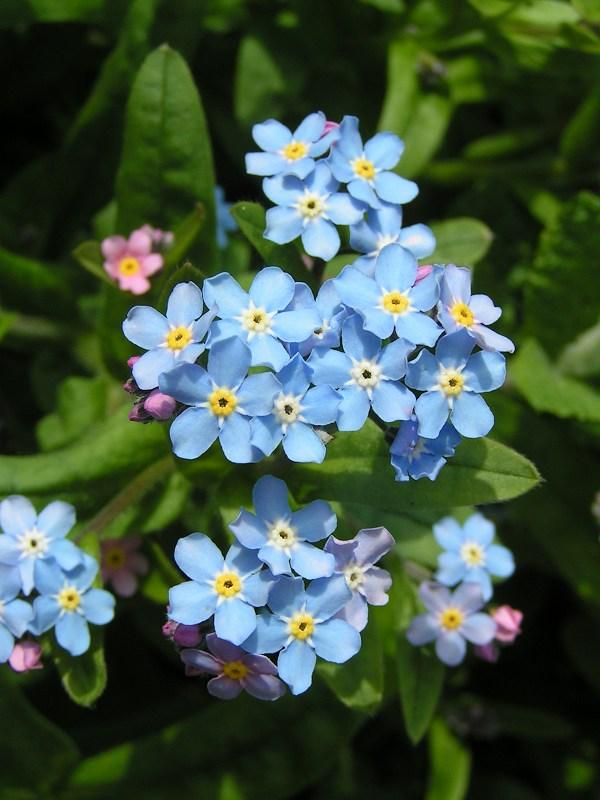 File Forget Me Not Close 600 Jpg Wikimedia Commons
