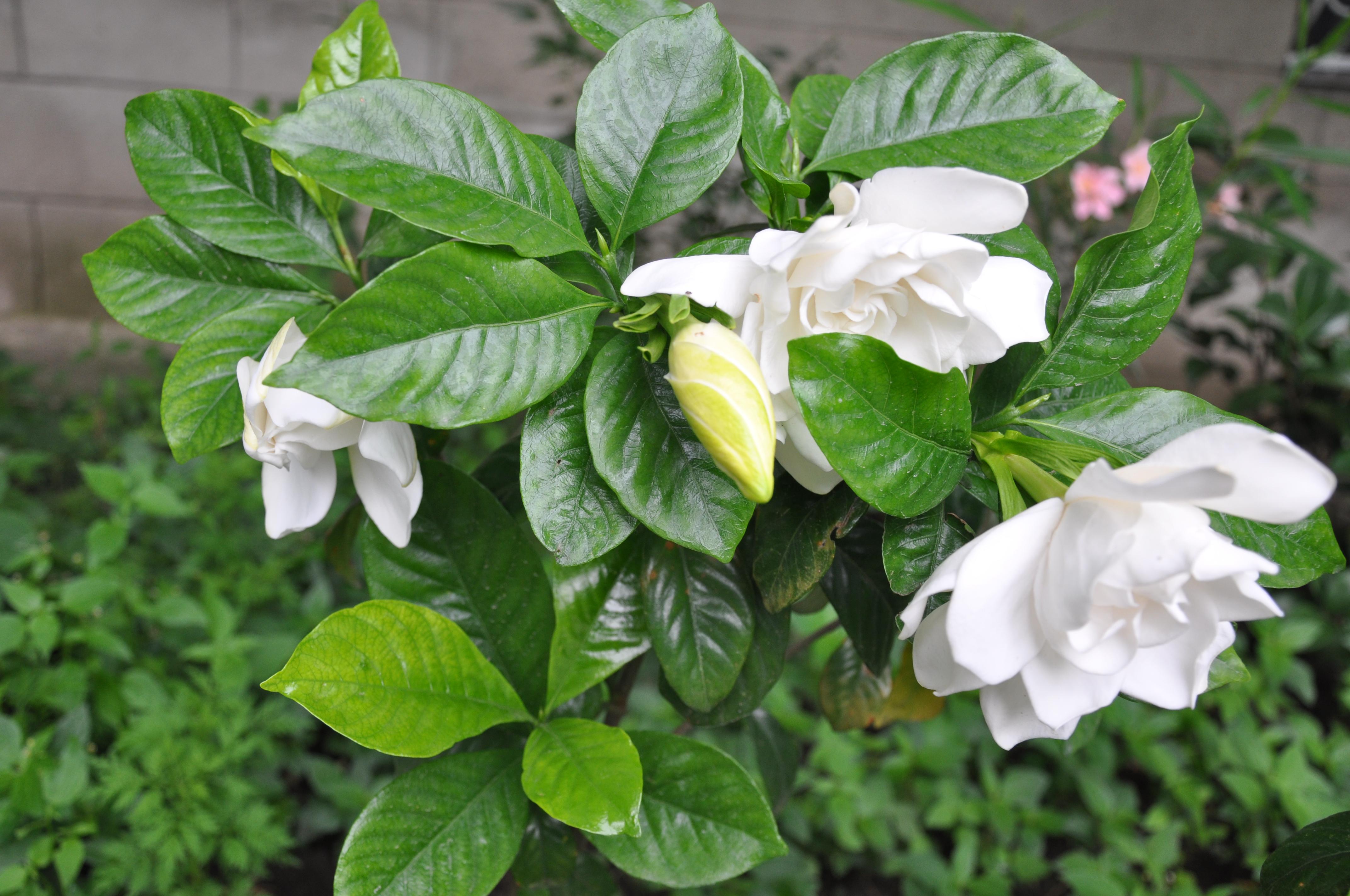 File Gardenia Jasminoides Cape Jasmine ხევარდი Jpg