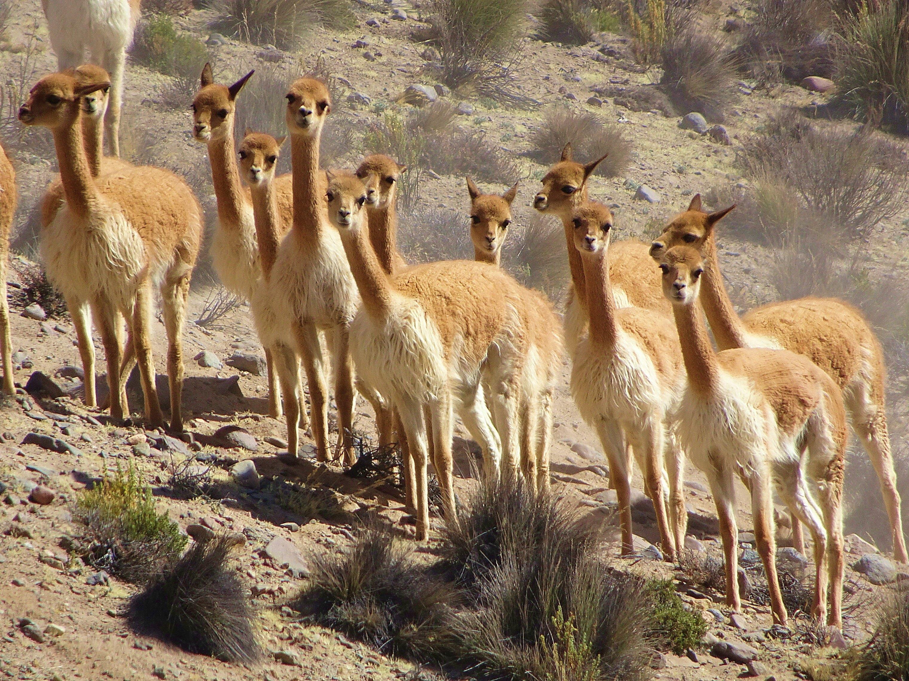 File group of vicu a in arequipa region wikipedia for Terrazas 14 vicuna