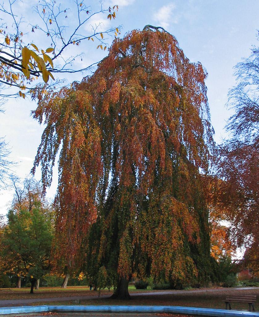 Hänge-Buche im Herbst