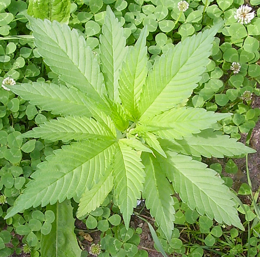 Список галлюциногенных растений — Википедия (с комментариями)