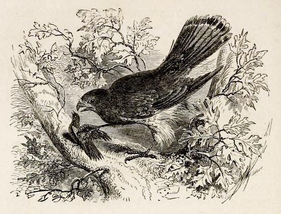 Herrick Hawk