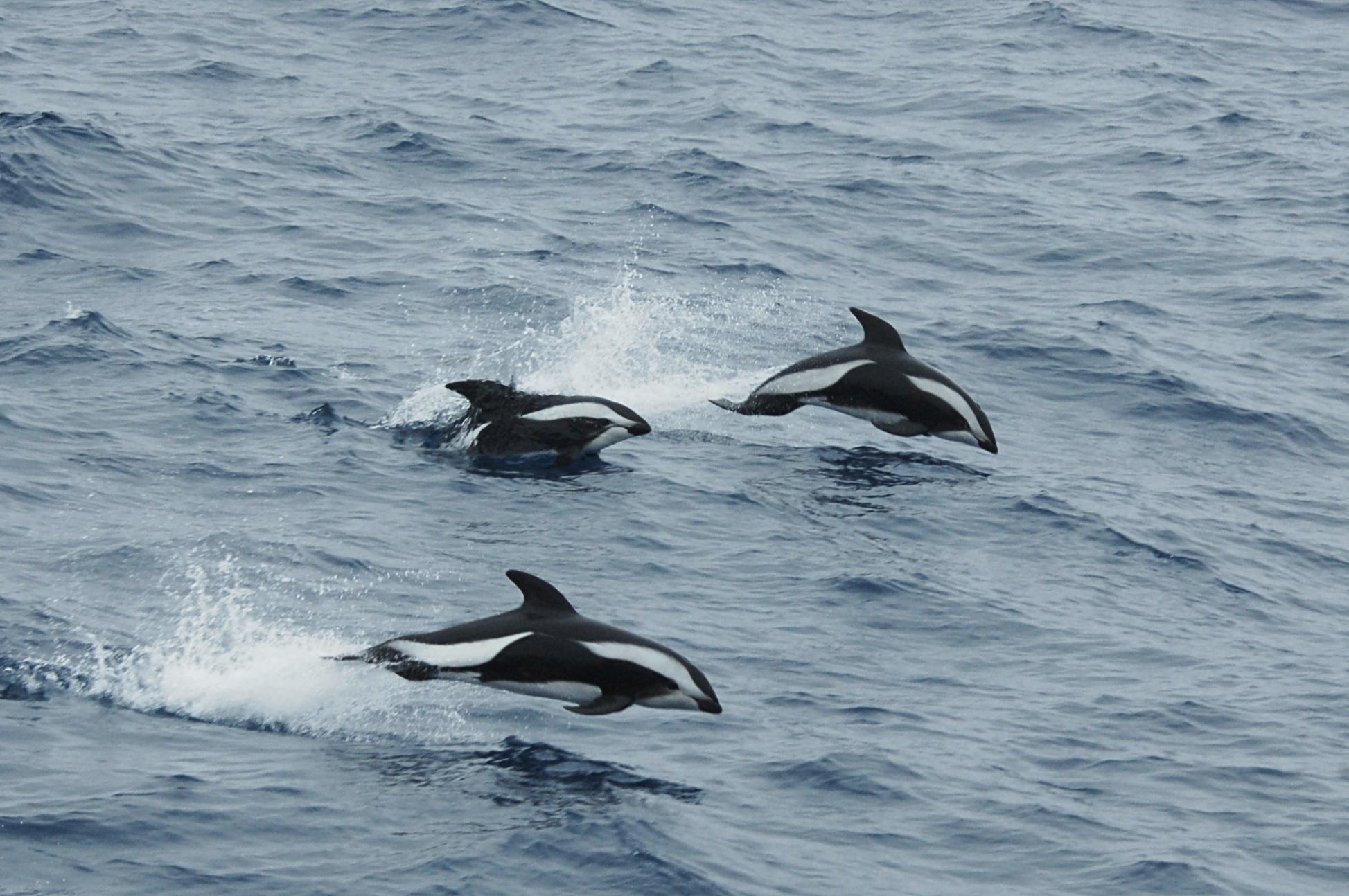 Hourglass dolphin (Lagenorhynchus cruciger)