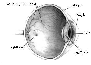 840e767db مقطع عرضي في العين البشريّة يوضّح موقع العدسة فيها
