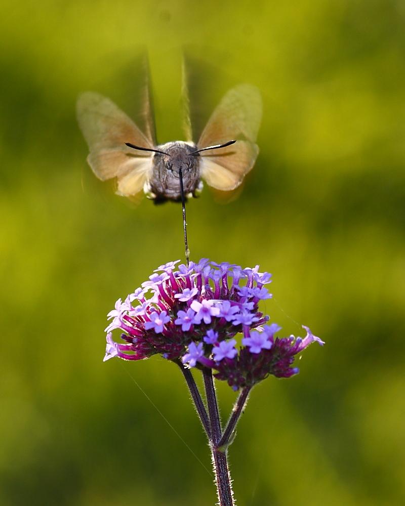 file hummingbird hawk moth by redr 1 jpg wikimedia commons