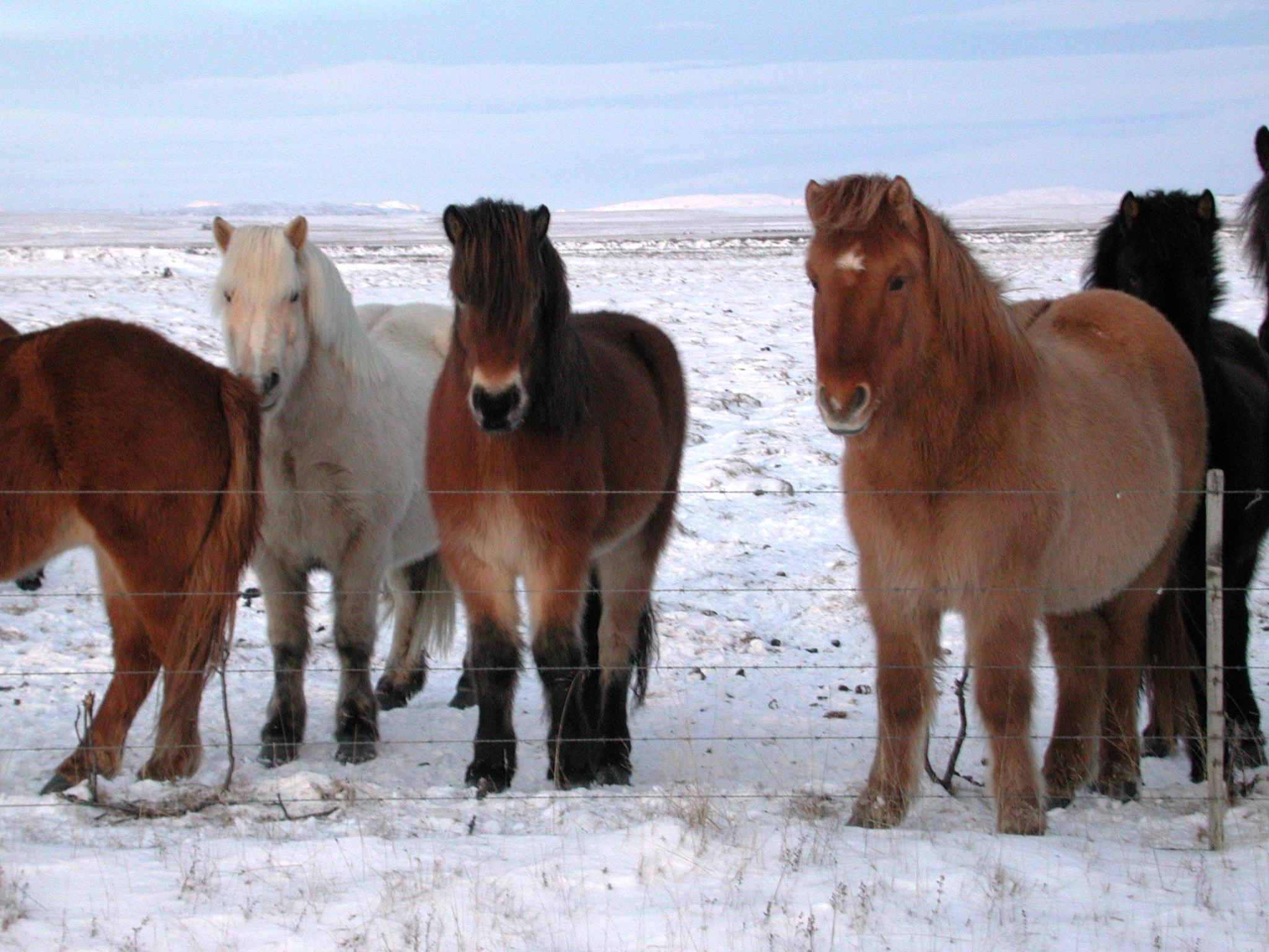 fluffy horses - photo #41