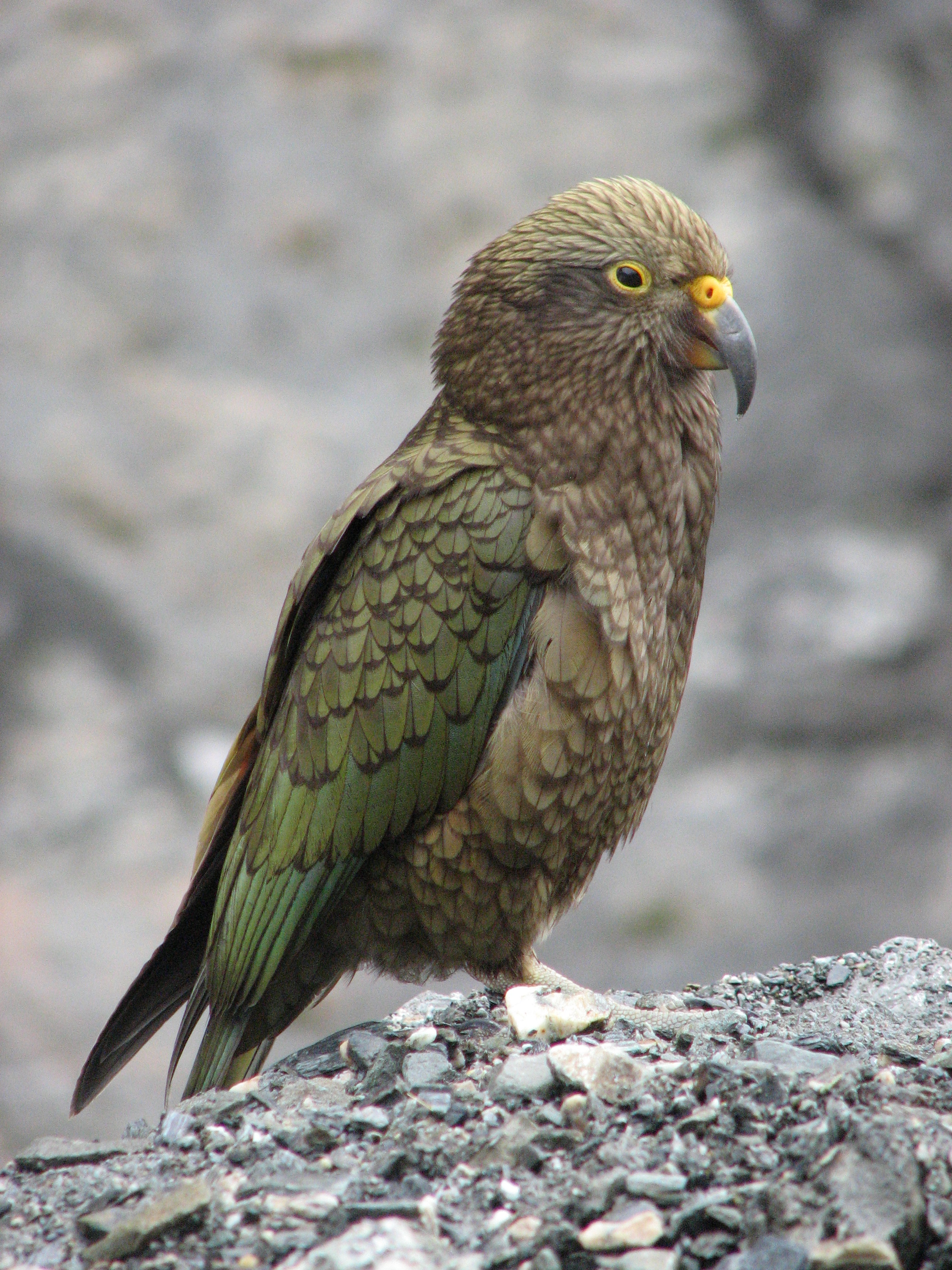 File:Kea.jpg - Wikipedia