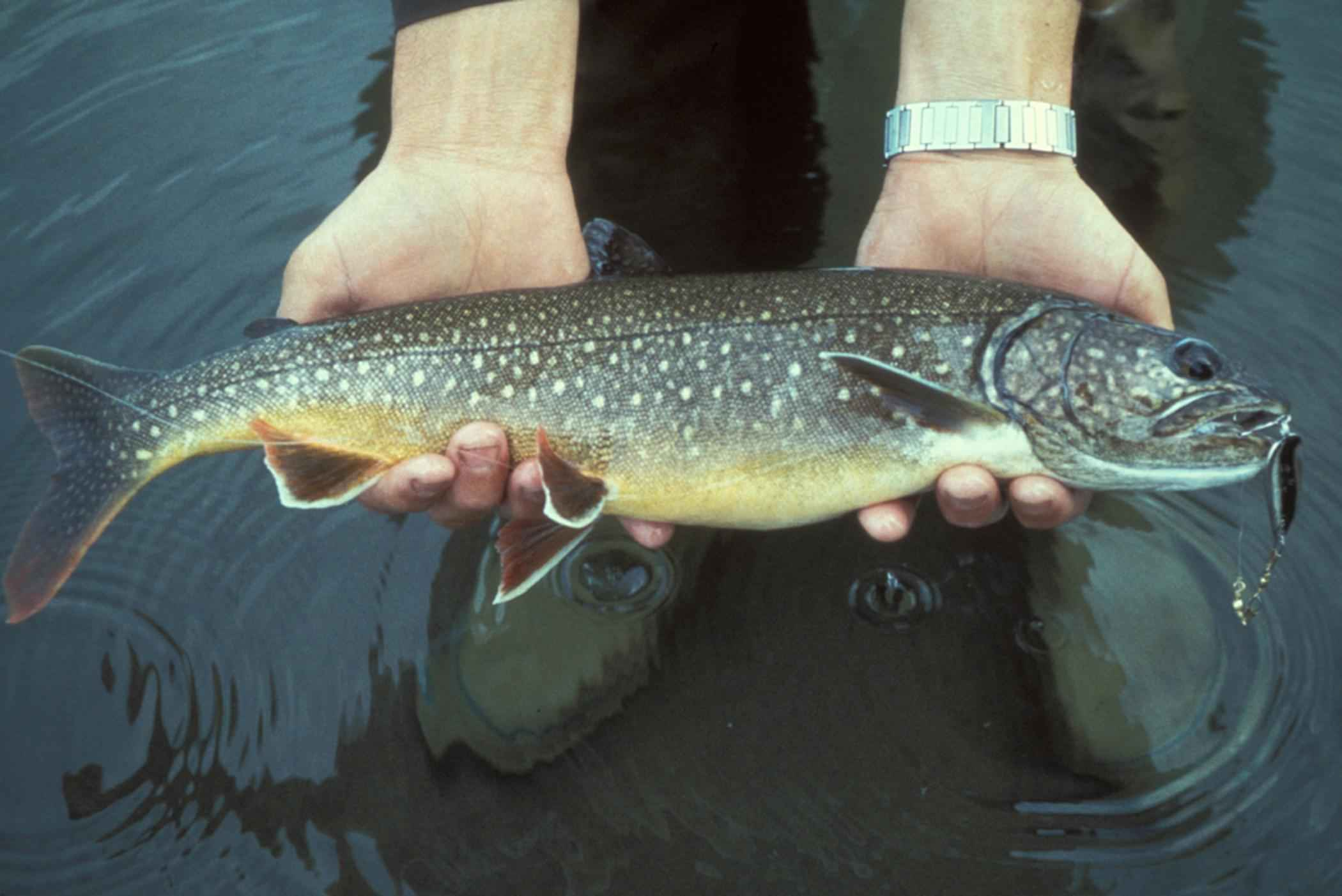 Fitxer lake trout fish in hands salvelinus for How to fish for trout in a lake
