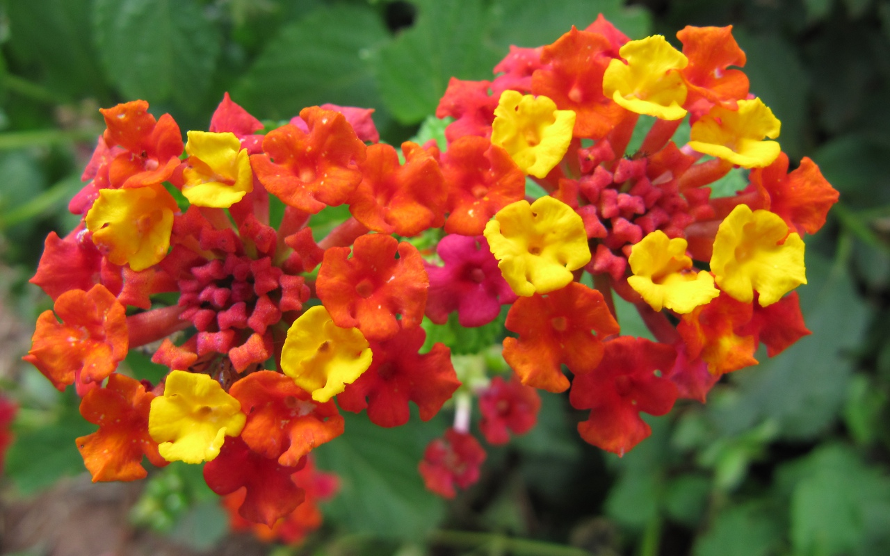 Im in love with my new plant = lantana Garden = Love