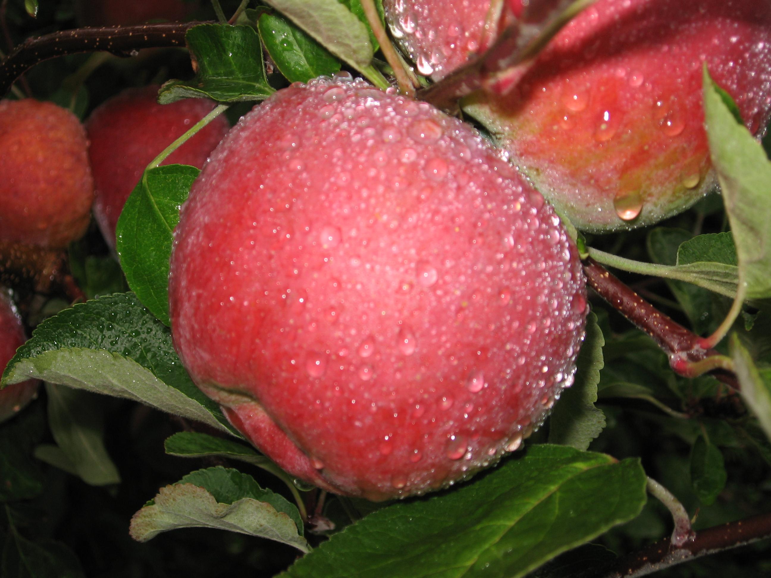 Außergewöhnlich Macoun apple - Wikipedia &PE_24