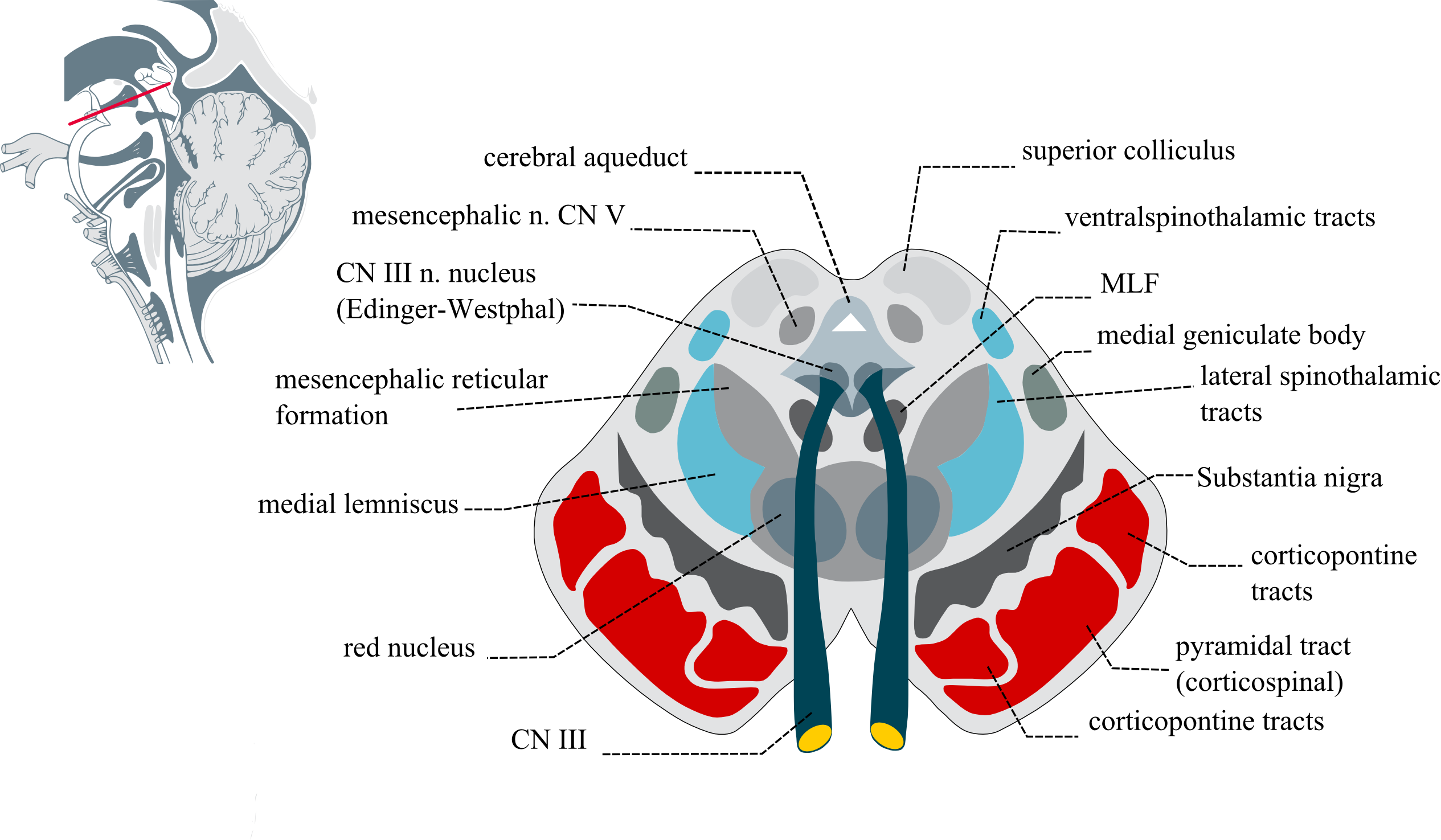 File:Midbraincrosssection.png - Wikimedia Commons