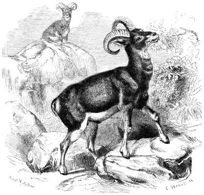 Mufflon (Ovis Musimon).png
