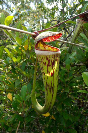 Archivo:Nepenthes cincta.jpg