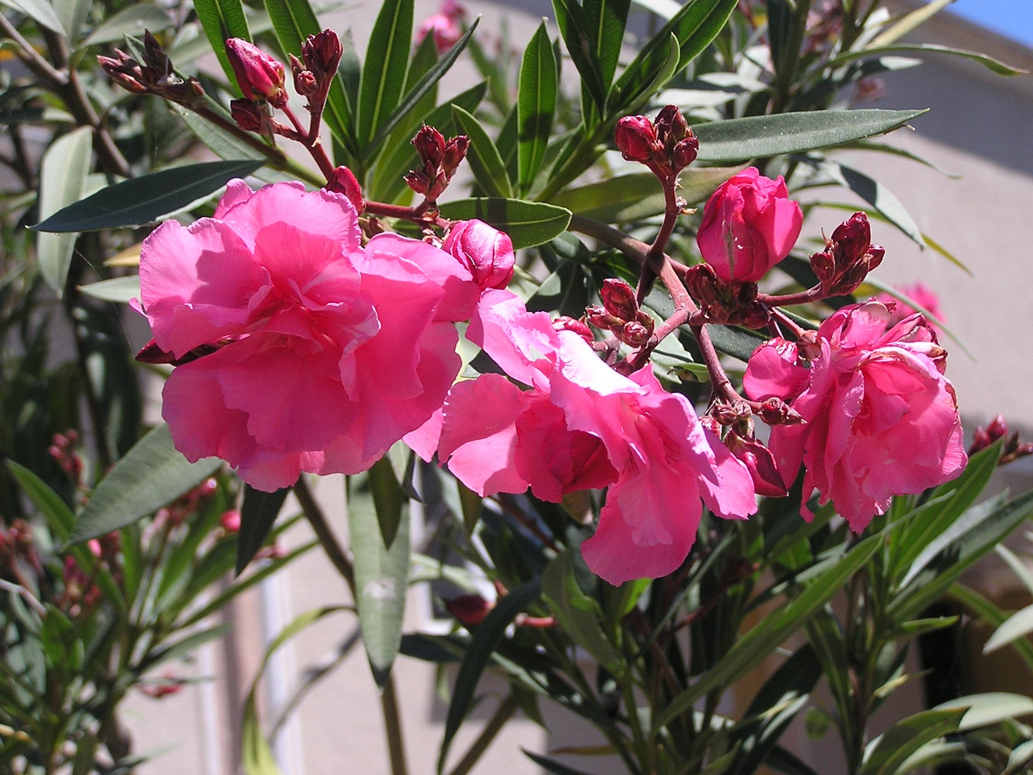 file nerium oleander cultivars in sedovo wikimedia. Black Bedroom Furniture Sets. Home Design Ideas