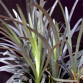 Ophiopogon Planiscapus Wikipedia