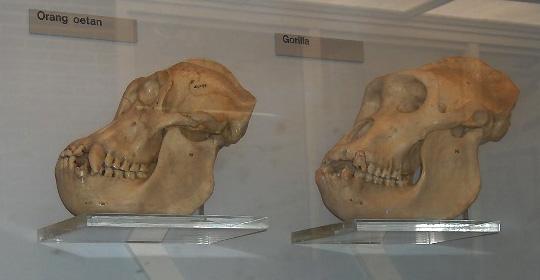 Orang.gorilla.skulls.jpg
