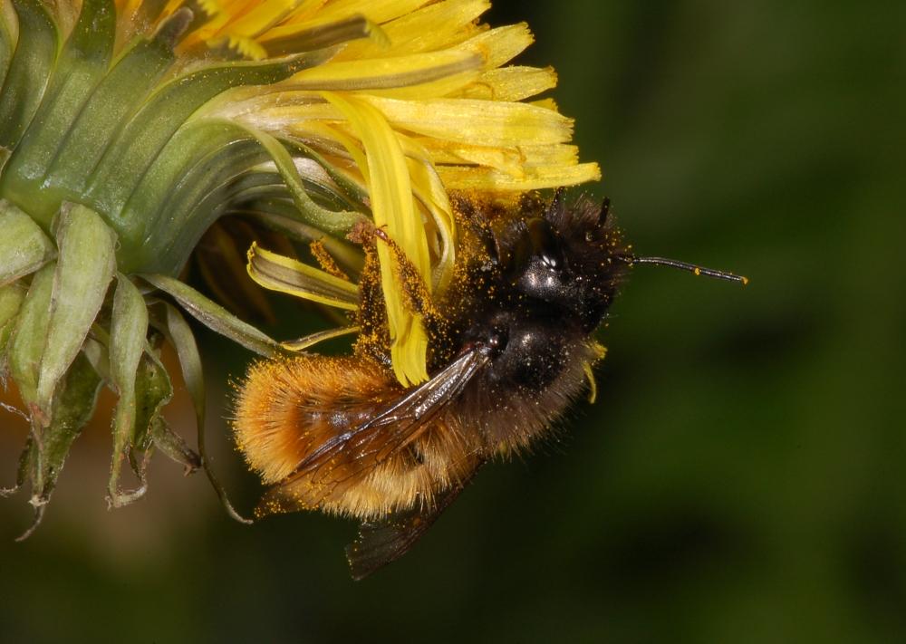 Gehörnte Mauerbiene (Osmia cornuta), Weibchen beim Pollensammeln an Kuhblume (Taraxacum)
