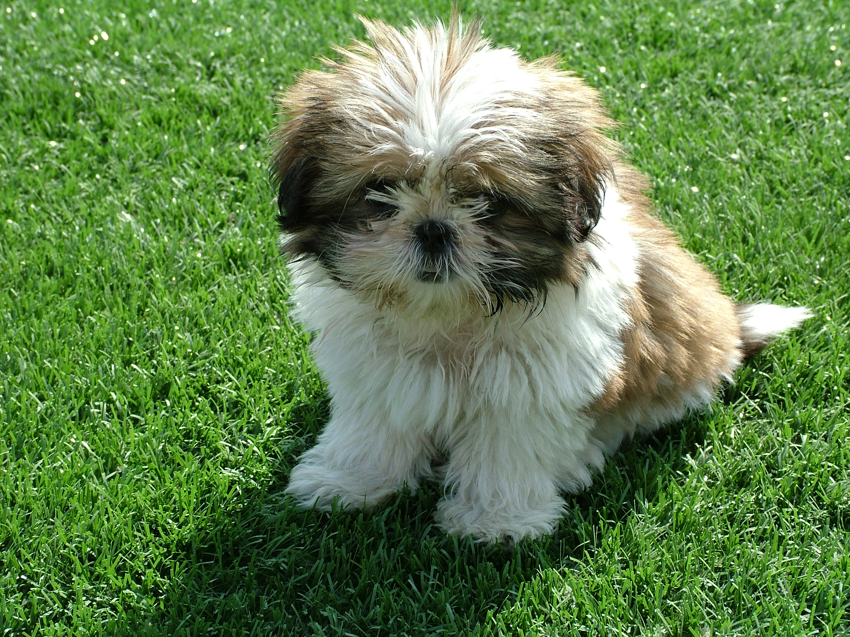 Shih Tzu - Small Dog Breeds