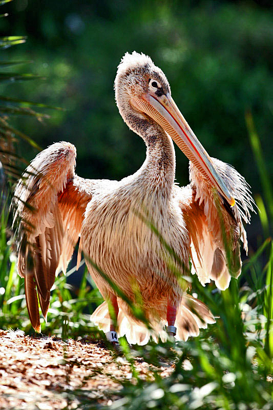 Pink-backed pelican - Wikipedia - photo#22