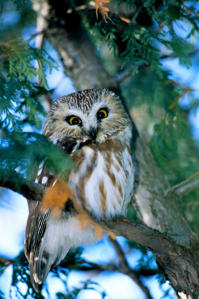 https://upload.wikimedia.org/wikipedia/commons/5/5f/Petite_Nyctale_Northern_Saw-Wet_Owl.jpg?uselang=pl