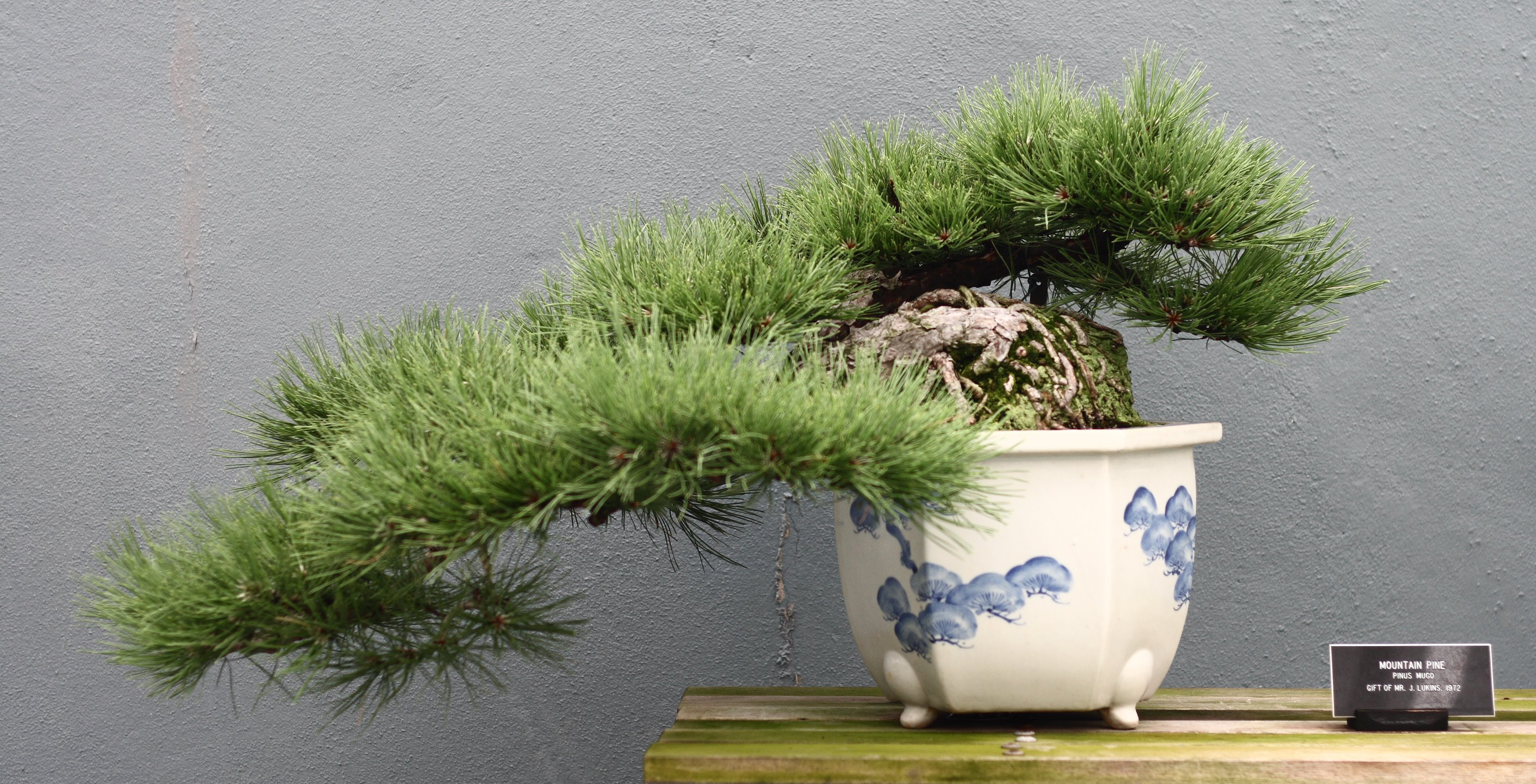file pinus mugo bonsai at the bbg august 2 wikimedia commons. Black Bedroom Furniture Sets. Home Design Ideas