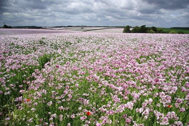 Poppy Fields - geograph.org.uk - 1361923.jpg