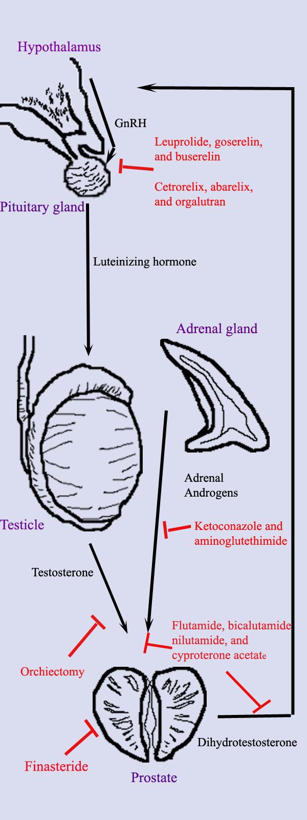 prostate wiki in hindi