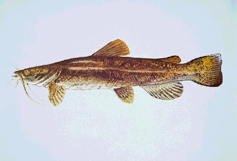 File:Spotted catfish.jpg - Wikipedia, the free encyclopedia