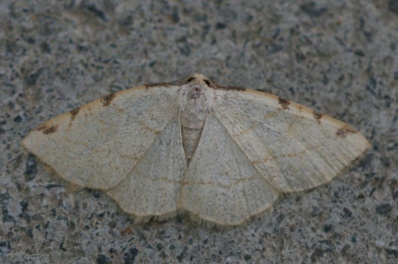 Stegania trimaculata. Location: Belgium - Machelen