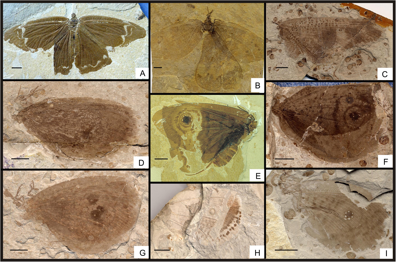 Structural diversity among Kalligrammatidae.png