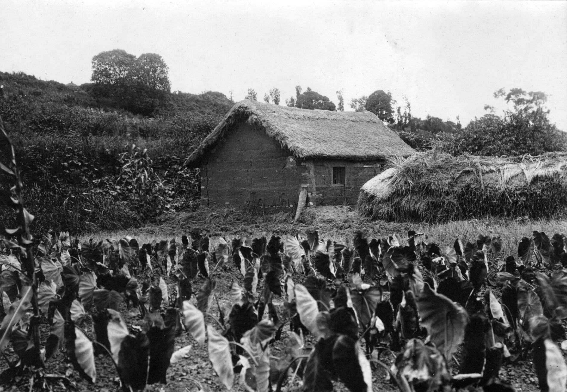 File:Taro field near Nanjing, China, 1921.jpg - Wikimedia Commons