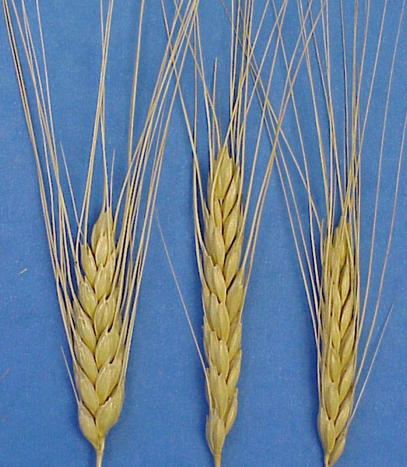 Image result for Emmer Wheat image