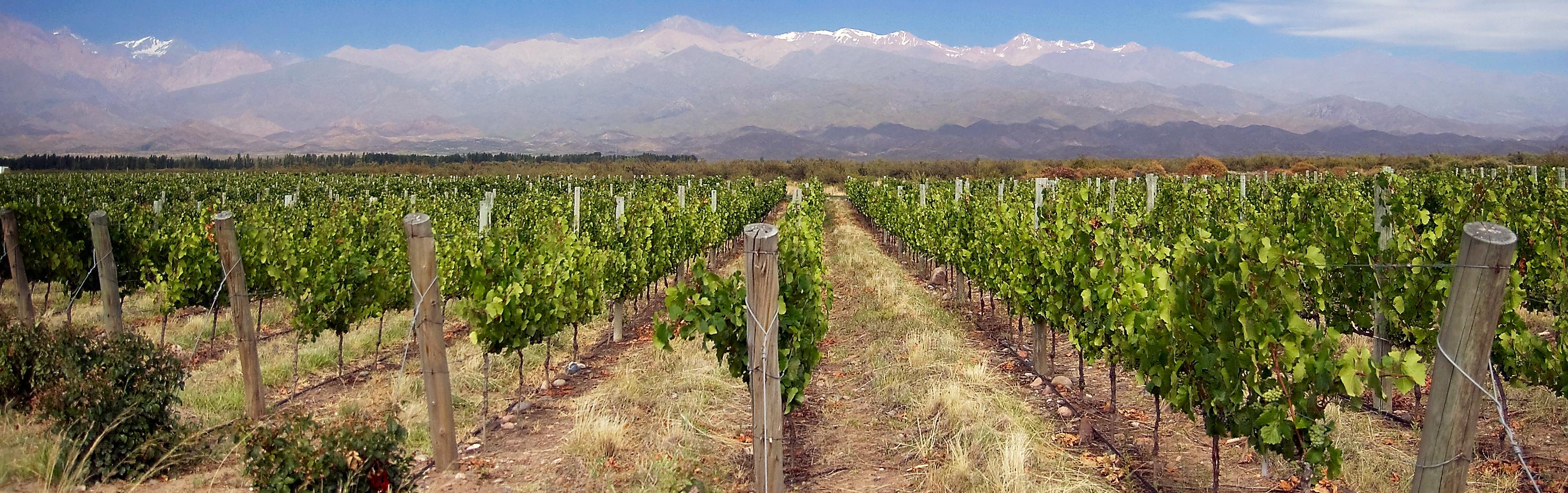 Vineyard under the Andes.