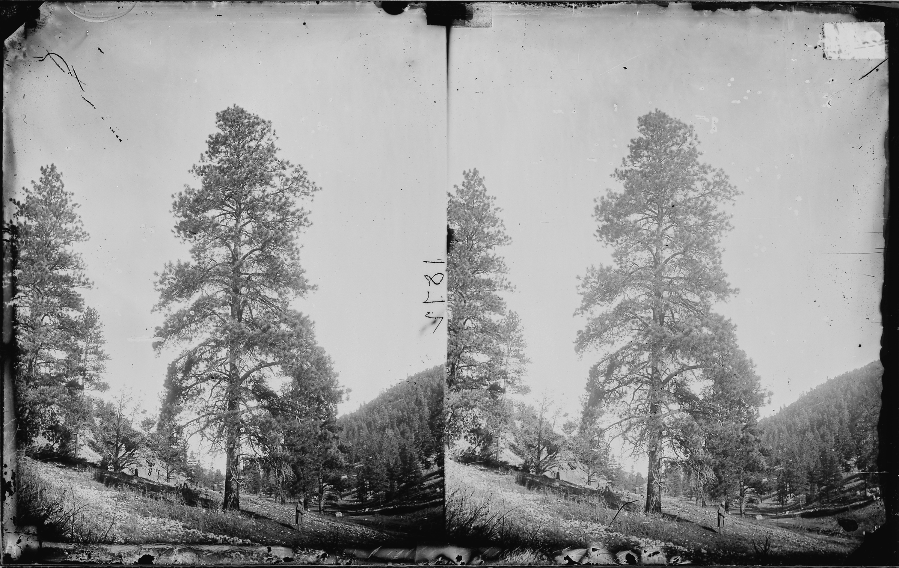 File yellow pine timber tree of high plateaus in utah for Pine tree timber