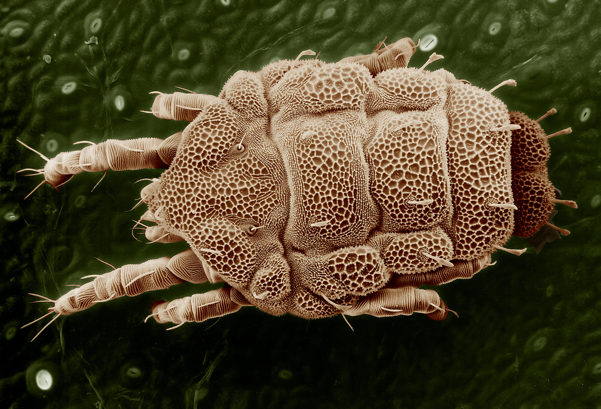 file yellow mite tydeidae lorryia wikipedia. Black Bedroom Furniture Sets. Home Design Ideas