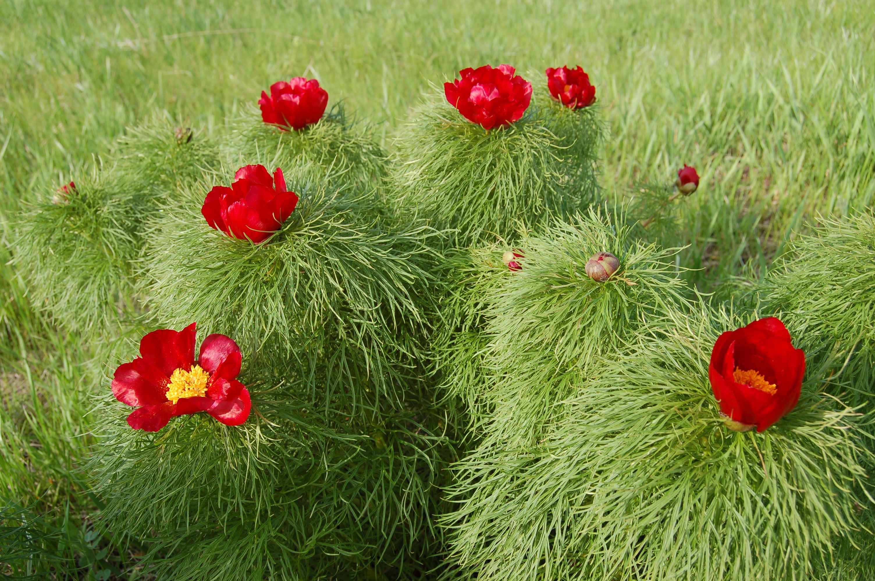 Paeonia tenuifolia FERNLEAF PEONY RED FLOWERS Seeds!