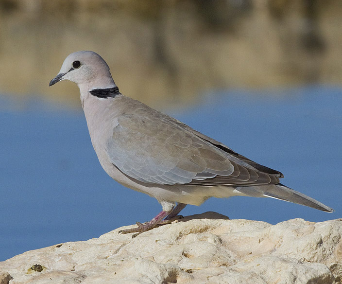 Ringed Pigeon Found Ni