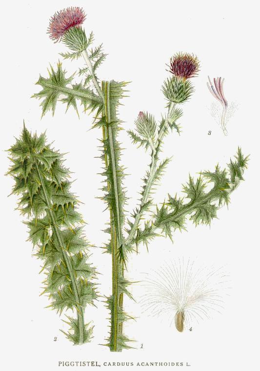 Bodliak tŕnitý (Carduus acanthoides)