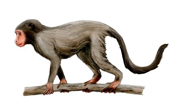 Aegyptopithecus NT