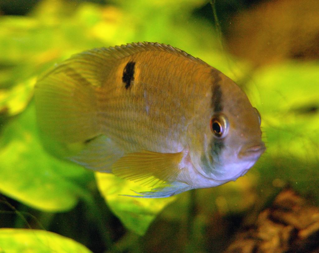 File amphilophus citrinellus wikimedia commons for Non aggressive freshwater fish