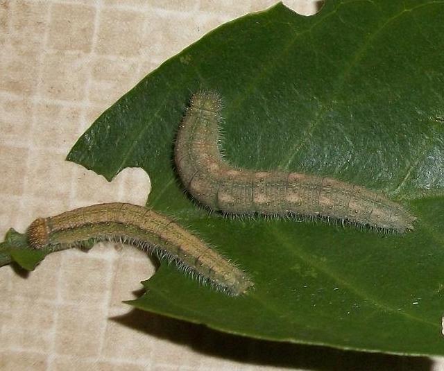 White Ant Larvae