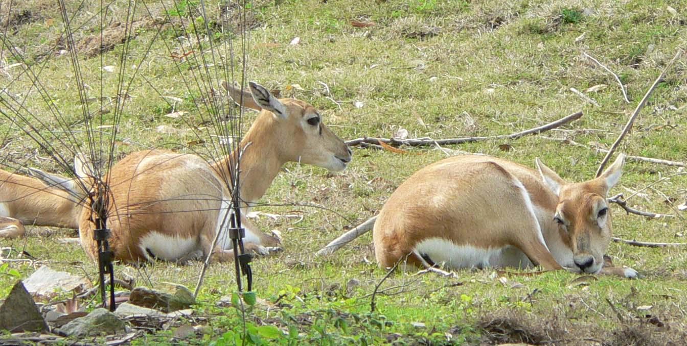 Antilope cervicapra4.jpg