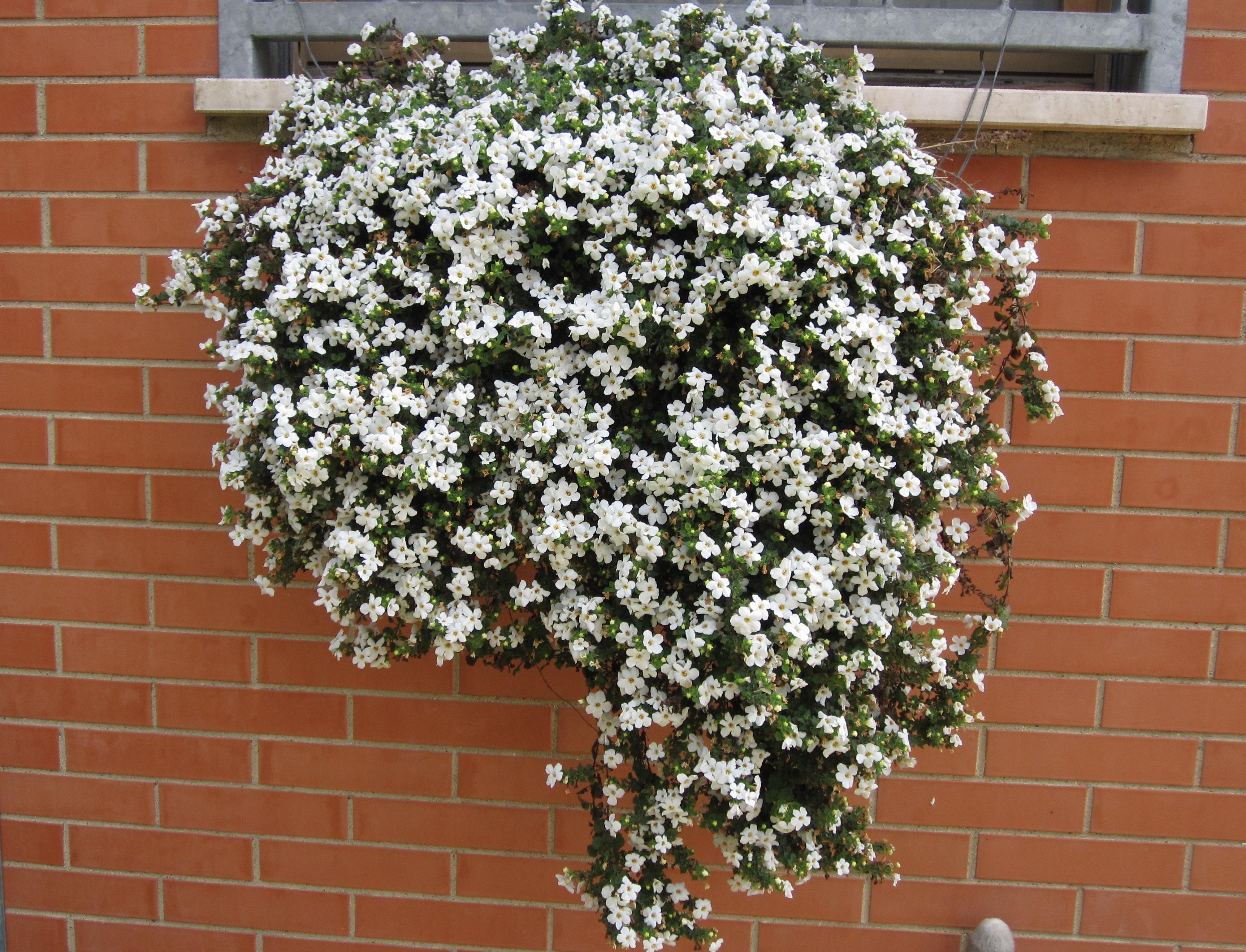 Цветы бакопа посадка и уход фото