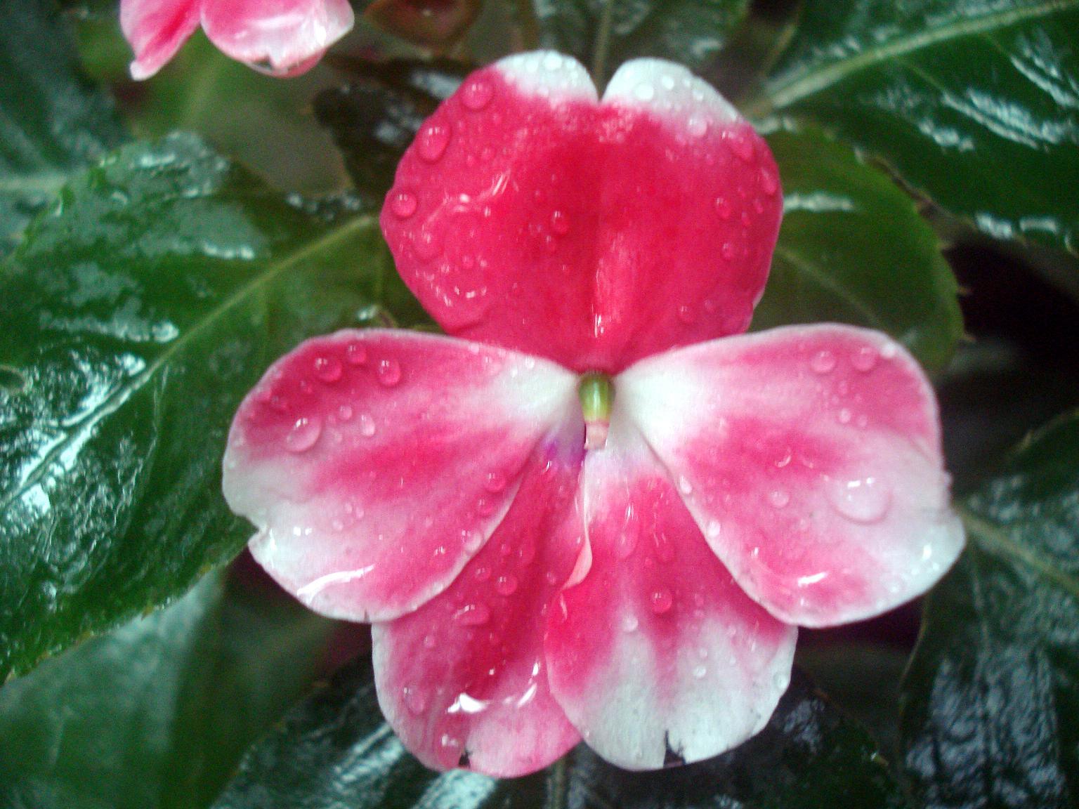 File Balsam flower one JPG