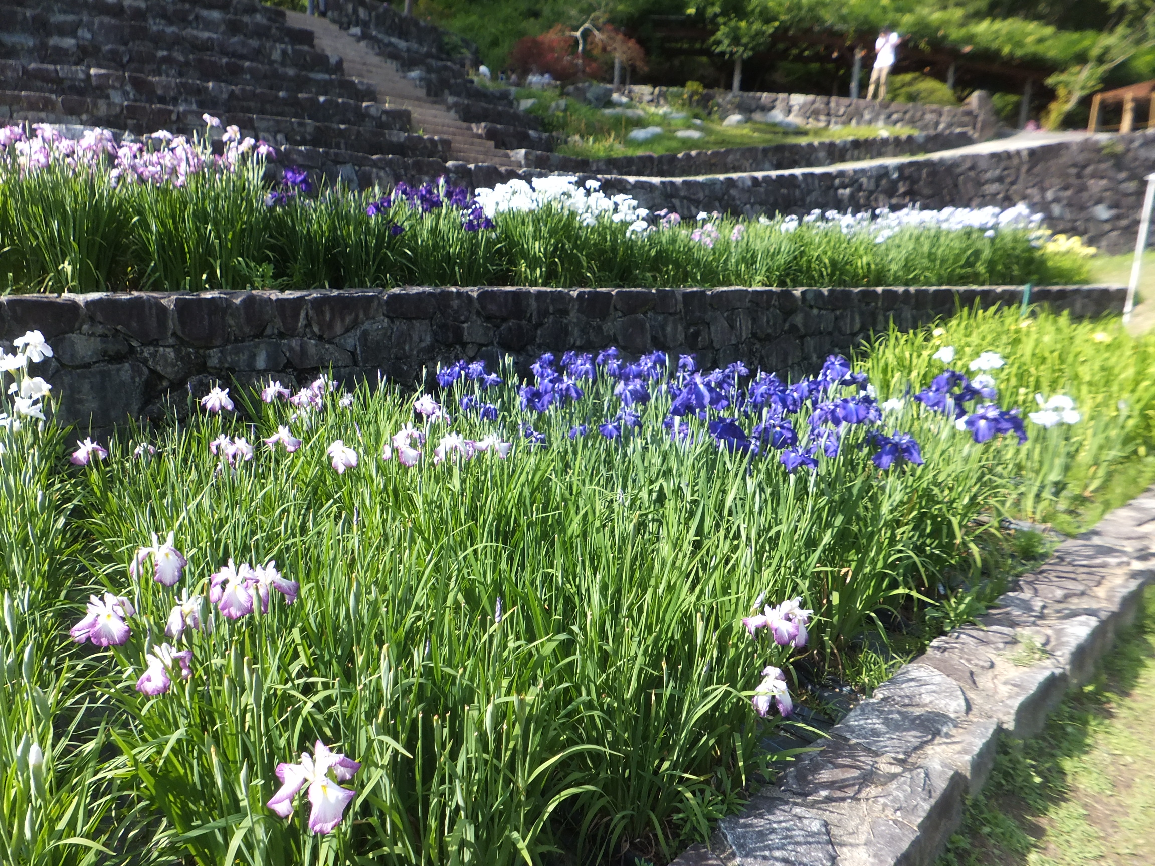 Captivating File:Banshu Yamasaki Iris Garden In 2013 6 16 No,81.