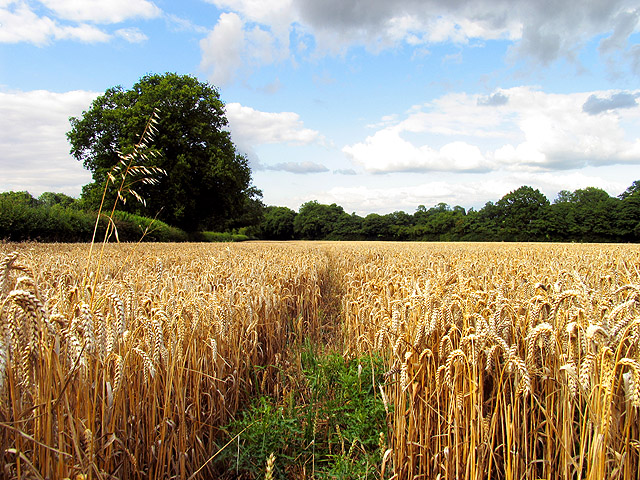 File:Barley Field near Ecchinswell - geograph.org.uk ...